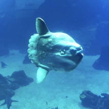 Aquarium Sunfish profile