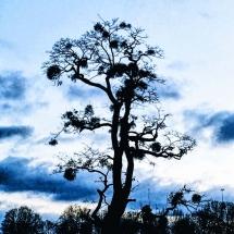 Hampton Court Tree