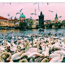 Swans and Charles Bridge