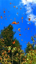 Butterflies in the sky4