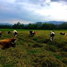 Suesca cows